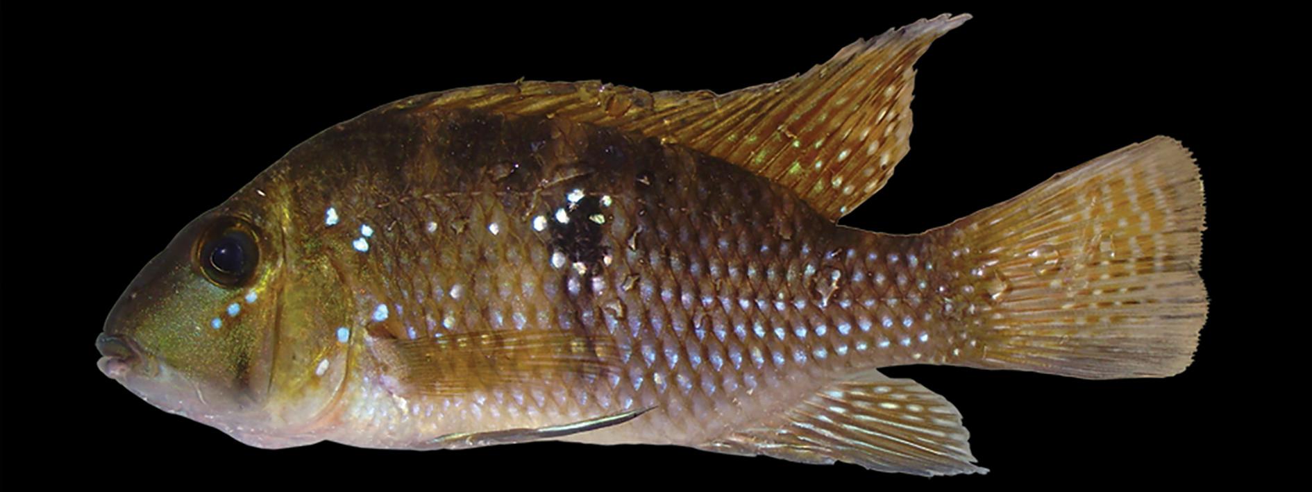 Geophagus brasiliensis