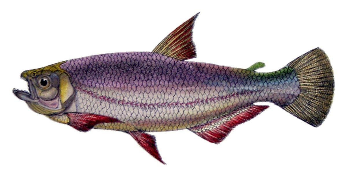 Bryconinae